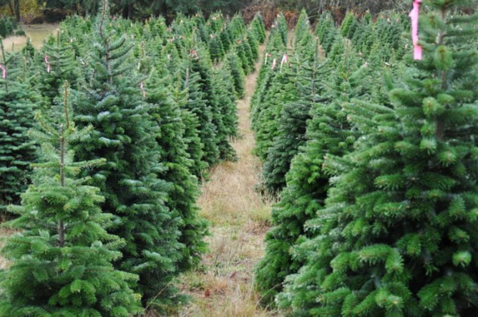 christmas tree shops and farms - Christmas Tree Farm Colorado