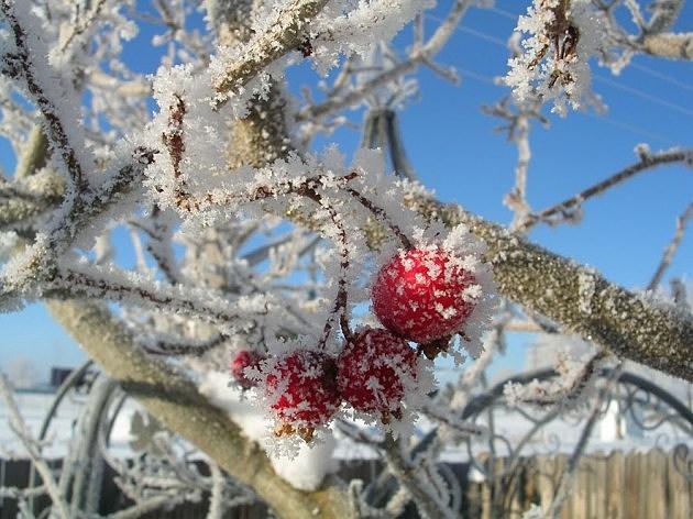 frozen crabapple tree
