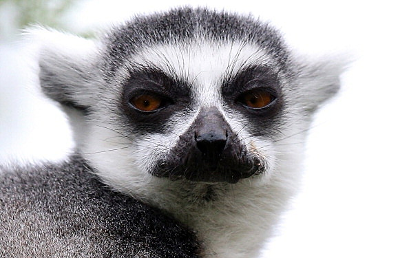 Illegal Pet Lemur Bites Child In Northern Colorado
