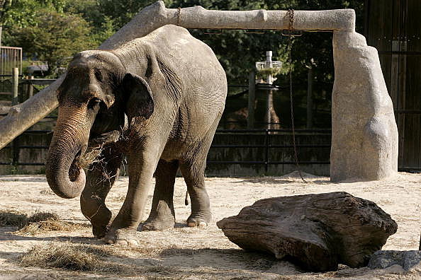 Denver Zoo Elephant Put On Hospice Care